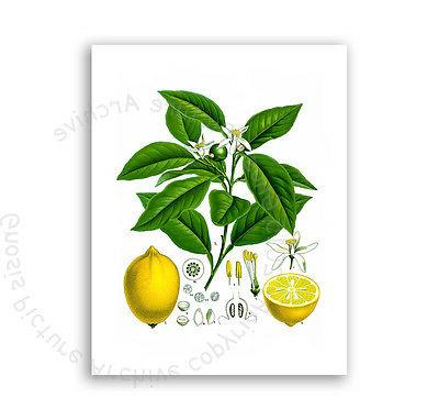 Farmhouse Kitchen Lemons Art Print of 6
